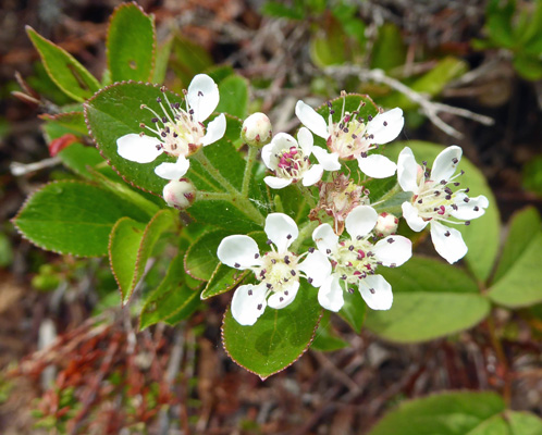 Red Chokecherry (Aronia arbutifolia)