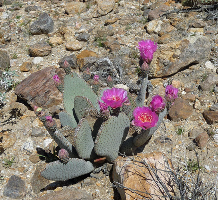 Beavertail cactus with many blooms