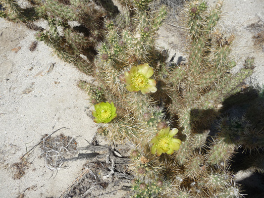 Golden Cholla blooms