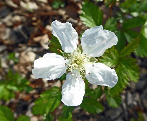 Hot springs ar march 2017 wild raspberry flower mightylinksfo