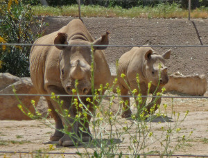 Rhino mother and baby at Wild Animal Park Escondido CA