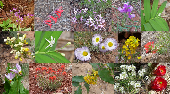 Wildflowers of Zion National Park