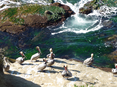 Pelicans and surf La Jolla CA