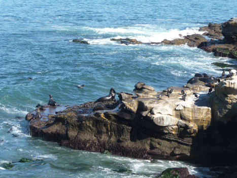Sea Lions near The Cove La Jolla CA