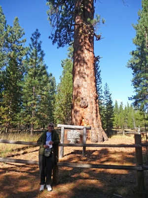 Walter Cooke and Oregon's largest Ponderosa Pine