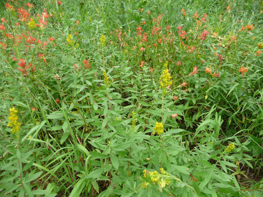 Paintbrush and Canada Goldenrod