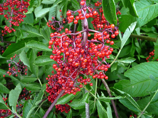 Red Elderberry (Sambucus racemosa)