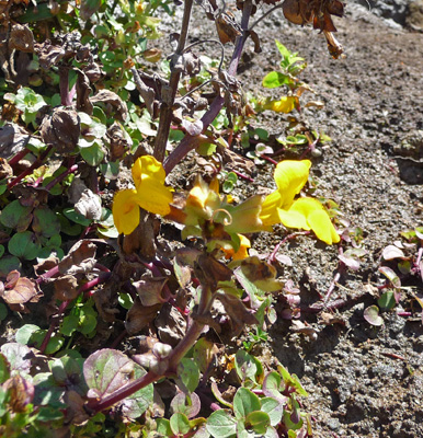 Mimulus growing in seep at beach