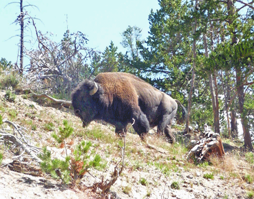 Bison above Dragon Mouth Spring