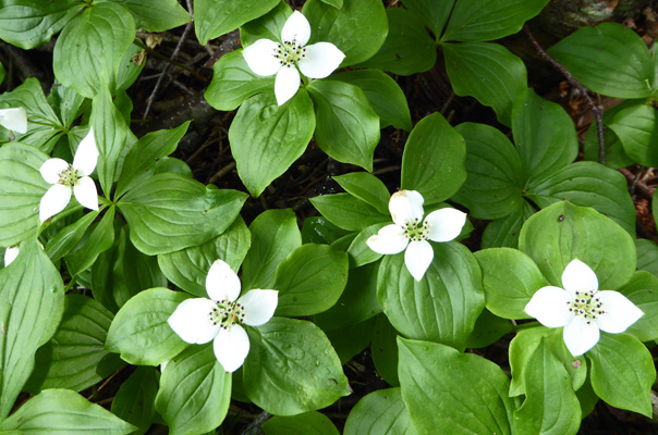 Bunchberries (Cornus canadensis)