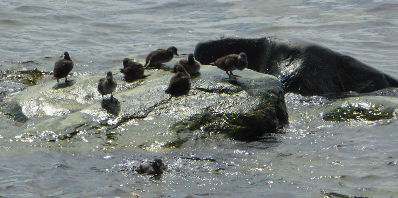 Duckllings on a rock