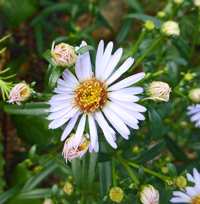 New York Asters (Symphyotrichum novi belgii)