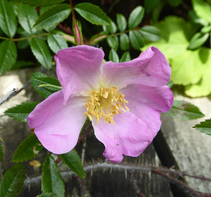 wild rose (Rosa virginiana)