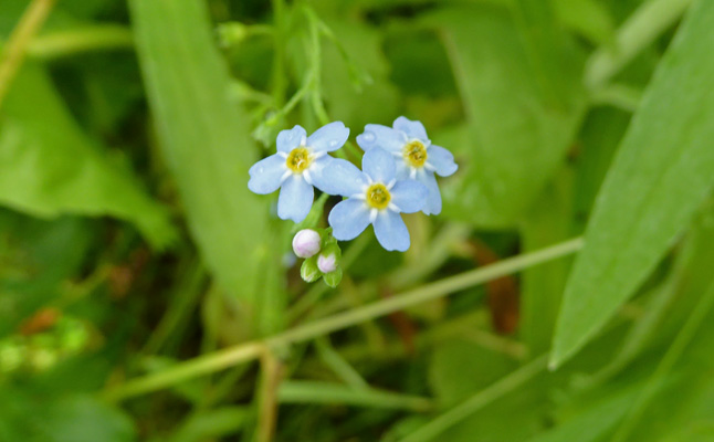 Bay Forget-me-not (Myosotis laxa)