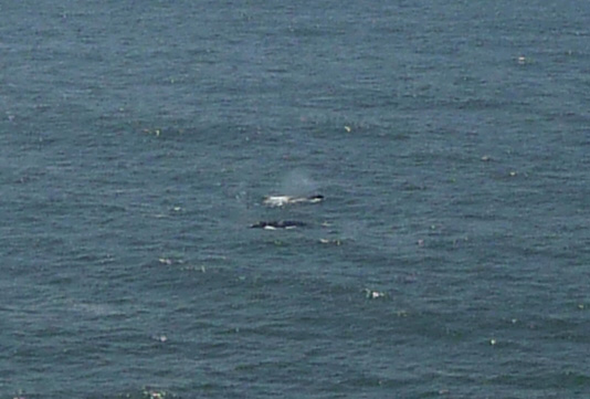 gray whales off Heceta Head