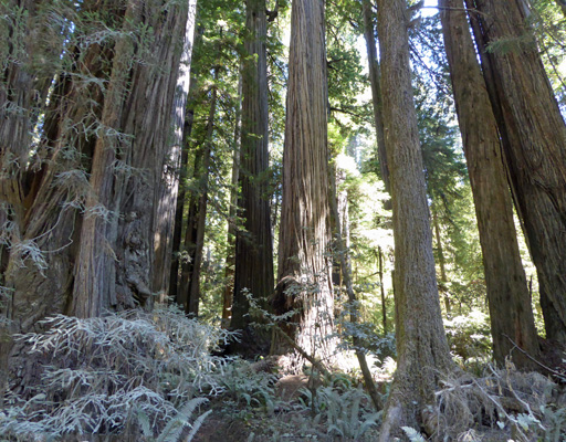 Boy scout Trail area Redwood NP