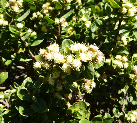 Coyote Bush (Baccharis pilularis)