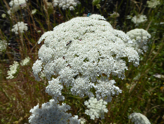 Queen's Anne Lace