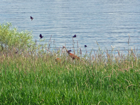 Redwing blackbirds and Sandhill Cranes
