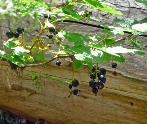 Northern Black Currants (Ribes hudsonianum)