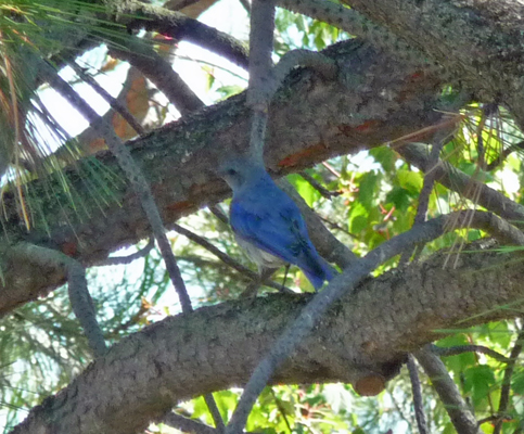 Mountain Bluebird at Sugarloaf Campground ID