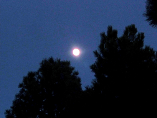 nearly full moon over pines