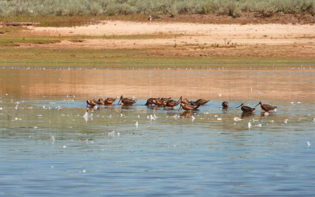 Short-billed Dowitchers on Lake Cascade