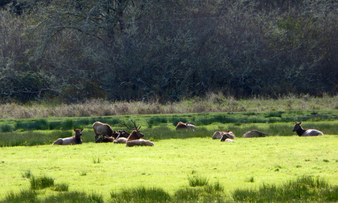 Bull elk and harem Reedsport