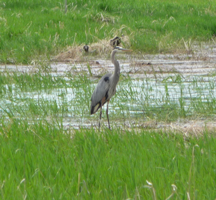 Great Blue Heron Lake Cascade ID