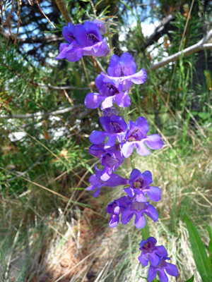 Dark blue penstemon (Penstemon cyanus)