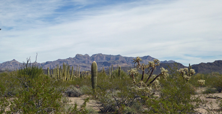 Organ Pipe Cactus NM