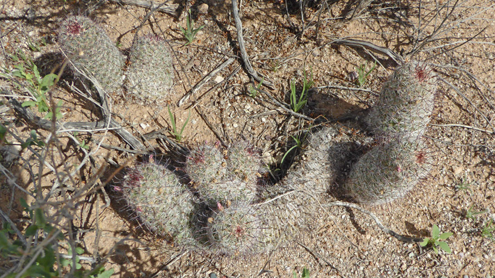 Arizona Fishhook Pincushion Cactus