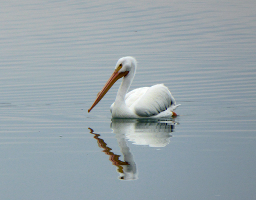 Pelican and reflection