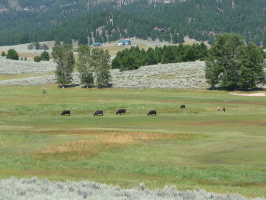 Stray Cattle at Sugarloaf Campground ID