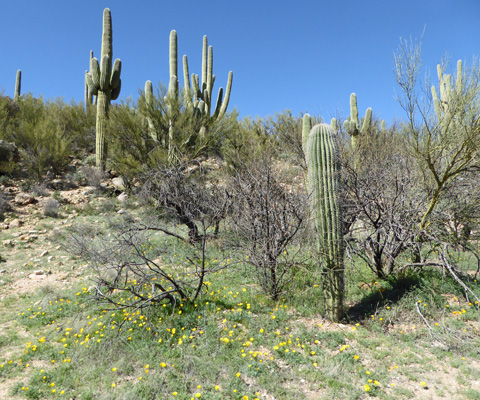 Poppies and saguaros
