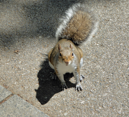 WA DC squirrel